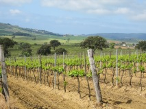 There are still some of the original vineyards that use the wood supports for the vines