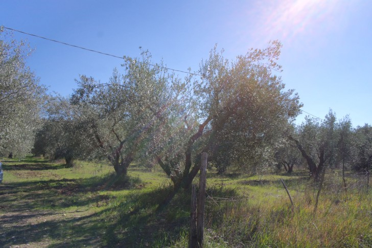 Carboncella are the most common variety olive in this area